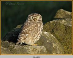 little-owl-16.jpg