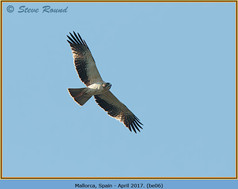 booted-eagle-06.jpg