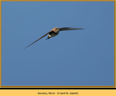 alpine-swift-06.jpg