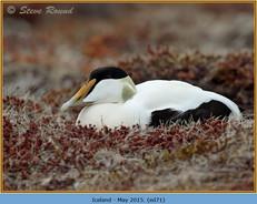 eider-duck- 71.jpg
