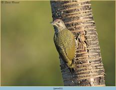 green-woodpecker-31.jpg