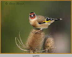 goldfinch-50.jpg