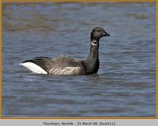 brent-goose-11.jpg