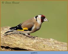 goldfinch-57.jpg