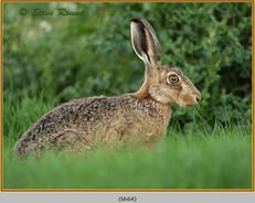 brown-hare-64.jpg