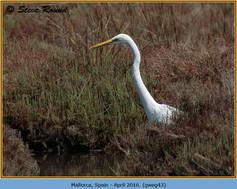 great-white-egret-43.jpg