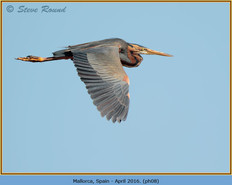 purple-heron-08.jpg