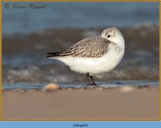 sanderling-64.jpg