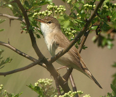 marsh-warbler-02.jpg