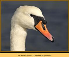 mute-swan-13.jpg