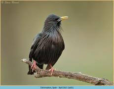 spotless-starling-01.jpg