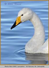 whooper-swan-08.jpg