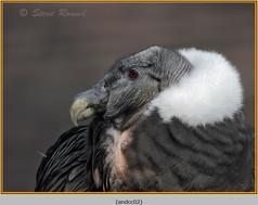 andean-condor-02.jpg