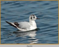 little-gull-44.jpg