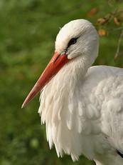 white-stork2c.jpg
