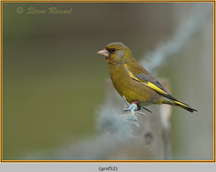 greenfinch-52.jpg