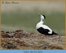 eider-duck- 72.jpg