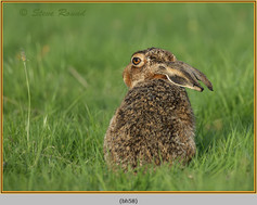 brown-hare-58.jpg