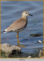 white-tailed-lapwing-29.jpg