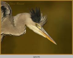 grey-heron-29.jpg
