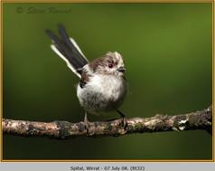 long-tailed-tit-32.jpg