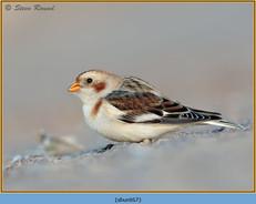 snow-bunting-67.jpg