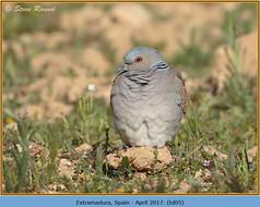 turtle-dove-05.jpg
