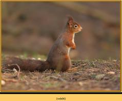 red-squirrel-06.jpg