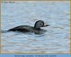 common-scoter-25.jpg