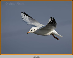 black-headed-gull-50.jpg