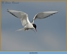arctic-tern-63.jpg