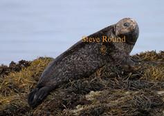 common-seal-02.jpg