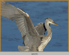 grey-heron-44.jpg