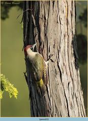 green-woodpecker-22.jpg