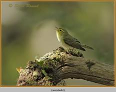 wood-warbler-44.jpg