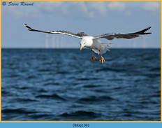 lesser-black-backed-gull-136.jpg