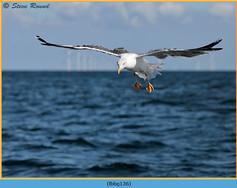 lesser-black-backed-gull-136.jpg
