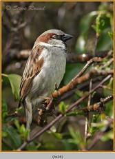house-sparrow-34.jpg