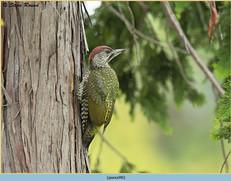 green-woodpecker-40.jpg