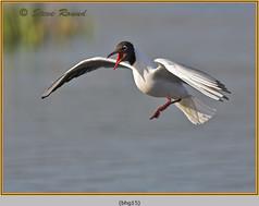 black-headed-gull-15.jpg