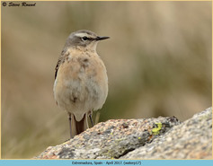 water-pipit-17.jpg