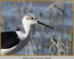 black-winged-stilt-49.jpg