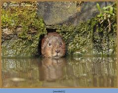 water-vole-01.jpg