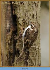 treecreeper-52.jpg