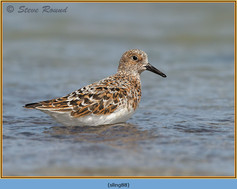 sanderling-88.jpg