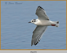 little-gull-29.jpg