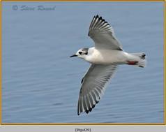 little-gull-29.jpg