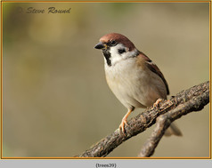 tree-sparrow-39.jpg