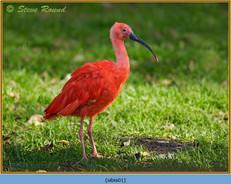 scarlet-ibis-(c)-01.jpg