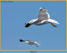 lesser-black-backed-gull-107.jpg